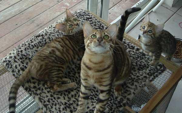 Utah Woman B... Cat That Looks Like A Tiger Breed