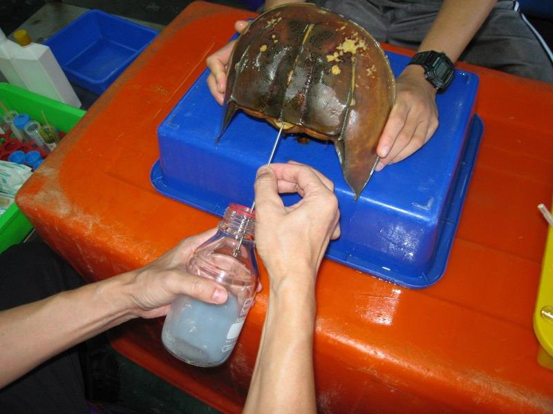 Horseshoe Crab Attack of a Horseshoe Crab This