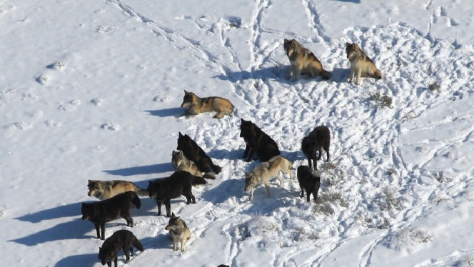 Even wolves need their space, new USU study finds
