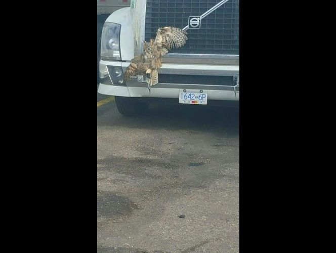Owl survives being struck by semi, wedged in grill on overnight drive
