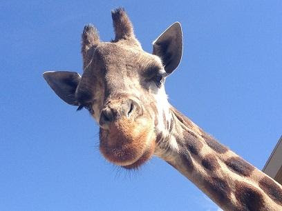Oldest giraffe in North America dies at Hogle Zoo