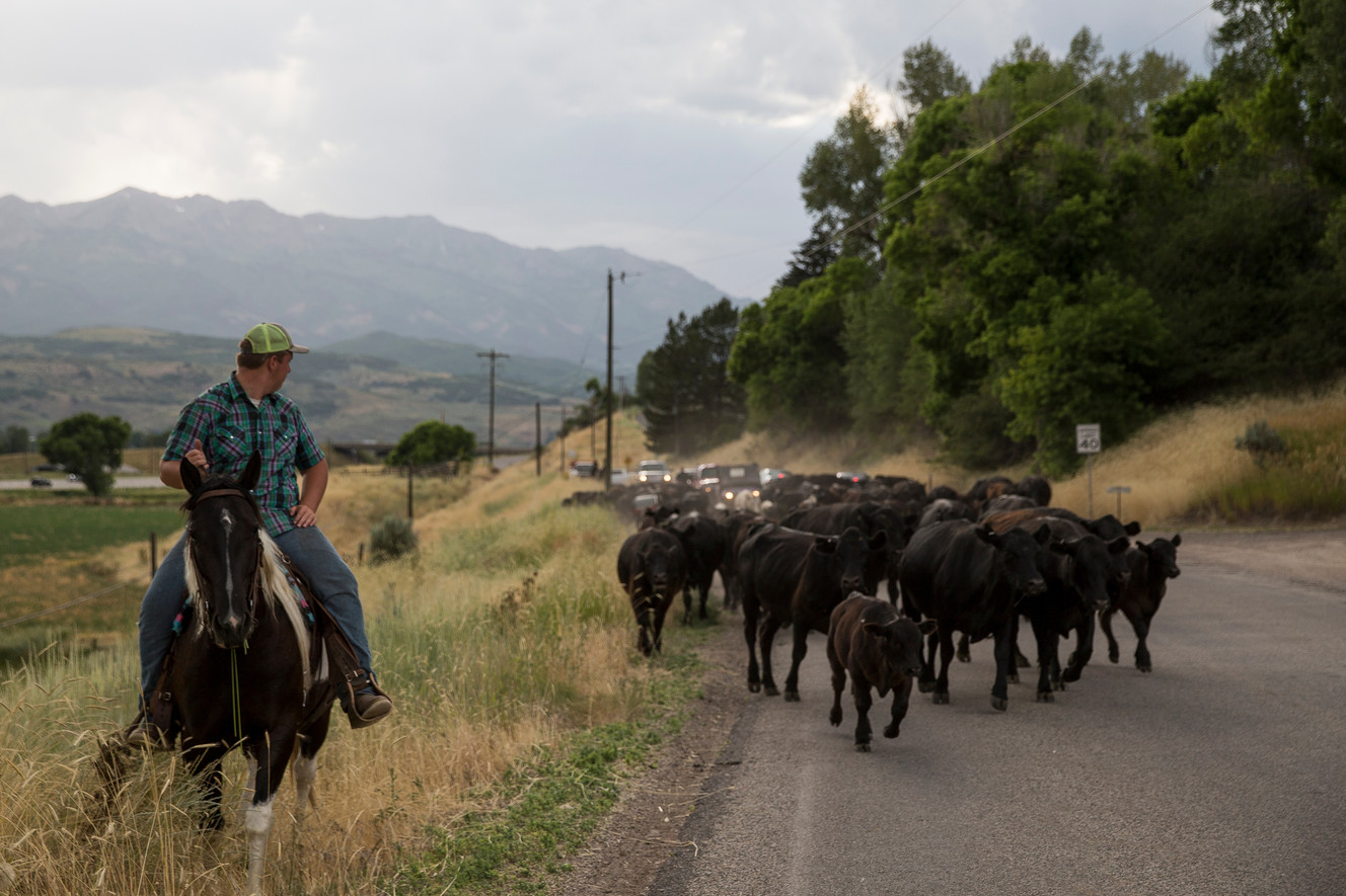 Old West showdown? Freeway cattle drive pits Utah ranchers against state