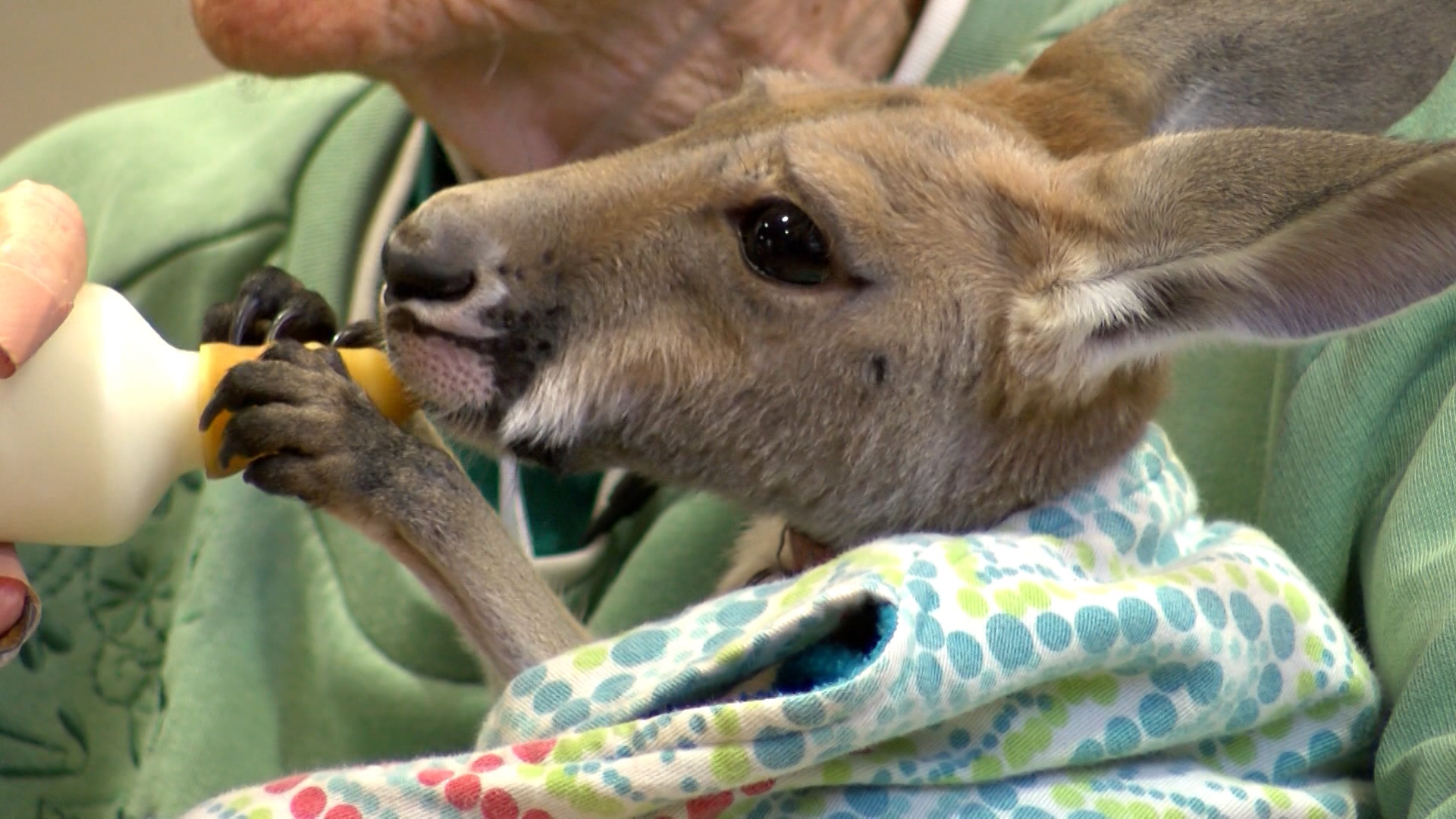 Baby kangaroo gives new meaning to therapy animal