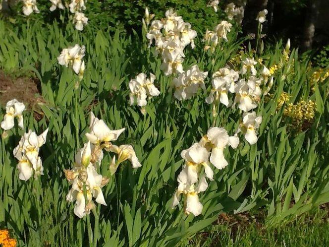 White Irises for sale in Plain City , UT