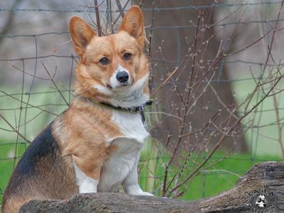 AKC CORGI STUD * NOT FOR SALE