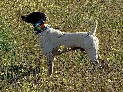 AKC German Shorthaired Pointer Stud