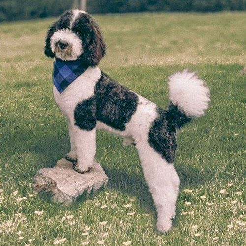 35 Pound, Black and White Parti Poodle-Proven Stud for sale in Lehi , UT