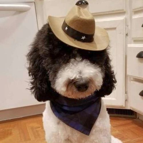 Lucky Cowboy the Poodle Stud (35 Pounds) for sale in Lehi , UT