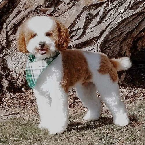 Proven 12 Pound Poodle Stud for sale in Lehi , UT