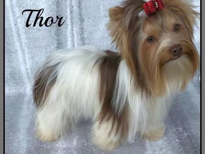AKC Yorkie (Yorkshire Terrier) As Stud