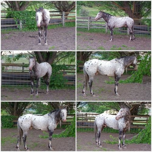 Harmony's  Stallions at Stud for 2021 for sale in Preston , ID