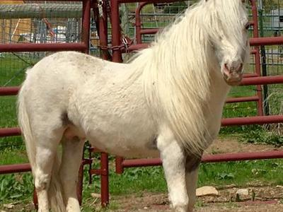AMHA AMHR Appaloosa miniature bay stallion