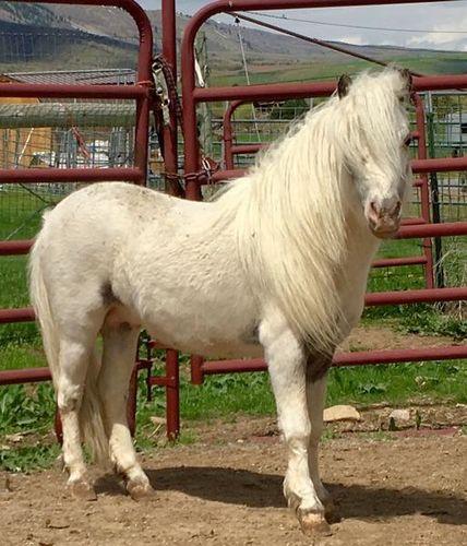 AMHA AMHR Appaloosa miniature bay stallion for sale in Preston , ID