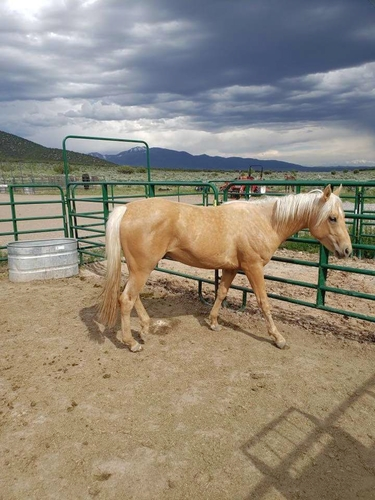 At Stud: Smokn Peppy James for sale in Tooele , UT