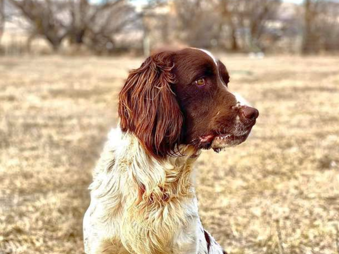 English Springer Spaniel Stud--Rockey's Ruckus for sale in Trenton , UT
