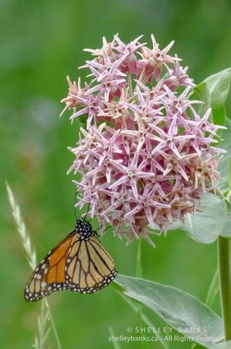 Showy Milkweed Seeds  for sale in Riverton , UT
