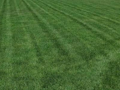 7 seed Kentucky bluegrass
