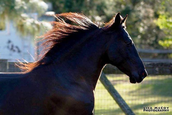 30mph Smoothly Gaited Stallion frozen semen for sale in Fairview , UT
