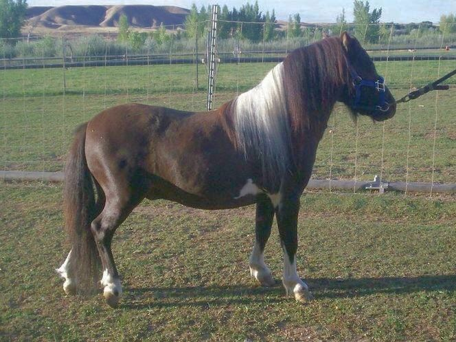 Bay Pinto Miniature Stallion 31.5 AMHA/AMHR/WCMHR for sale in Heber , UT