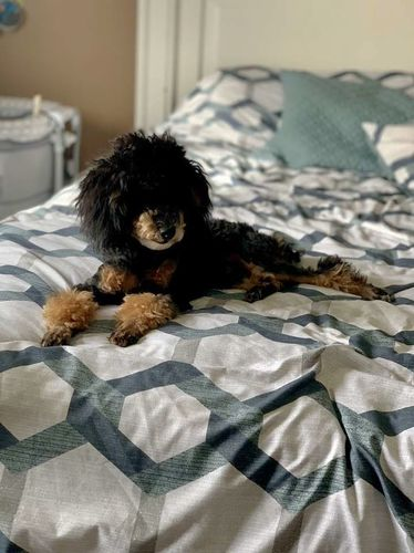 Phantom Abstract AKC Miniature Poodle *Stud only* for sale in Caldwell , ID