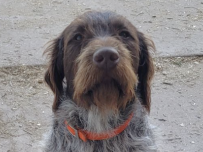 Wirehaired Pointing Griffon Stud\future puppies