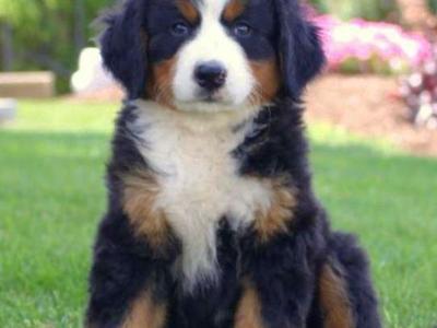 Puppies Dogs For Sale In Utah Idaho Kslcom