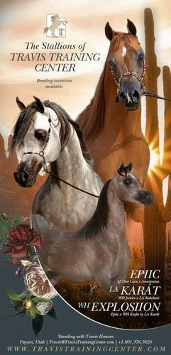 Purebred Arabian Stallion Services  for sale in Payson , UT