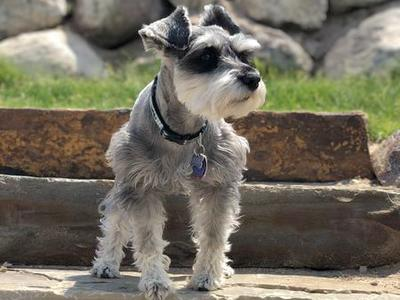 AKC, GENETIC & OFA Miniature Schnauzer STUD