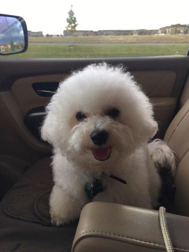 Bichon Frise for stud only for sale in Eagle Mountain , UT