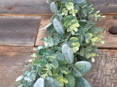 Frosted Eucalyptus & Lambs Ear Garlands