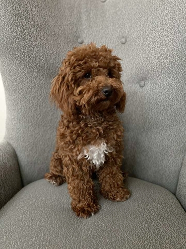 DEEP RED 9lb Toy Poodle Stud for sale in Payson , UT