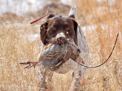 Proven AKC German Shorthair Pointer