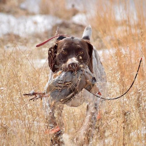 Proven AKC German Shorthair Pointer for sale in Grace , ID