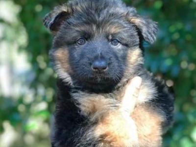AKC German Shepherd Puppies (waitlist)