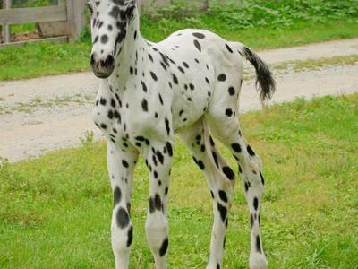 AT STUD- 100% leopard Producer Appaloosa Fewspot