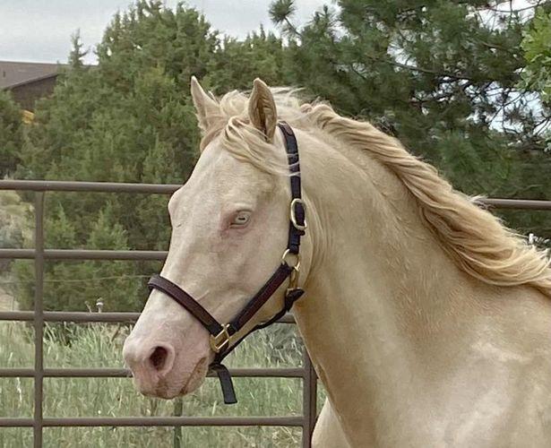 Missouri Foxtrotter Perlino Stallion for sale in Honeyville , UT