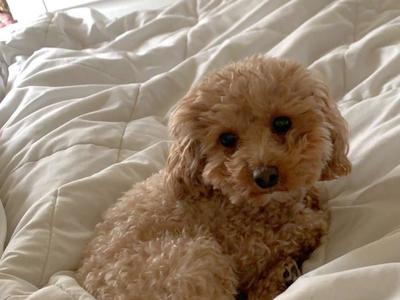 Moose The 4Lb AKC Red Toy Poodle STUD