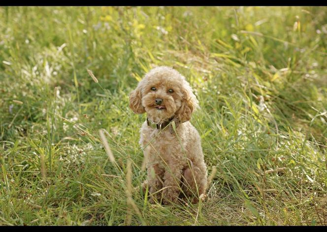 Moose The 4Lb AKC Red Toy Poodle STUD OFA DNA for sale in Provo , UT