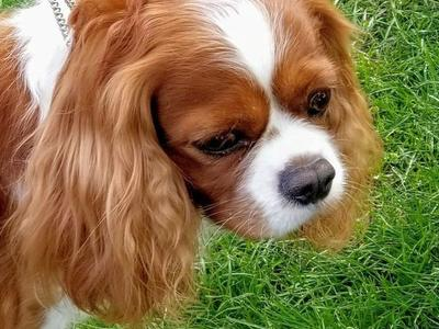 *proven* AKC Cavalier King Charles Spaniel *stud*