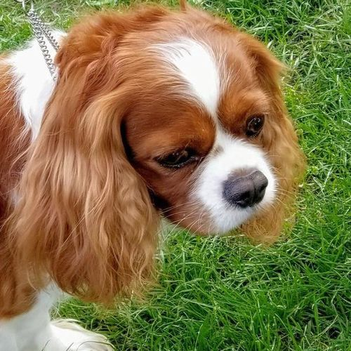 *proven* AKC Cavalier King Charles Spaniel *stud*  for sale in Layton , UT