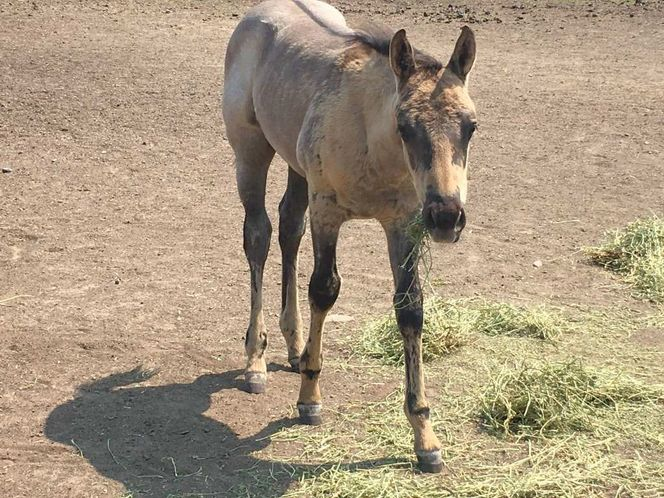 Grullo Roan Stud Colt Available For Purchase  for sale in Preston , ID