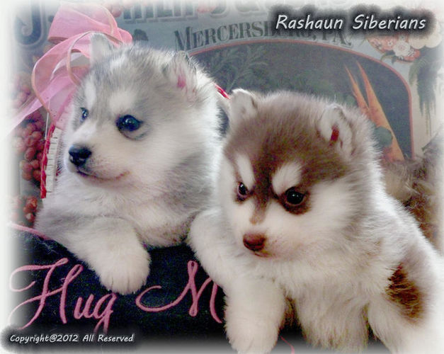 Siberian AKC Husky Puppies for sale in Flagstaff , AZ