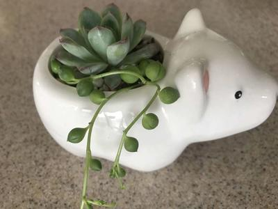 Valentine gift.  Real succulents in polar bear planter