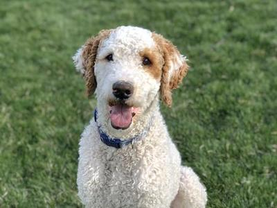 Bernedoodle/Poodle Health Tested Stud