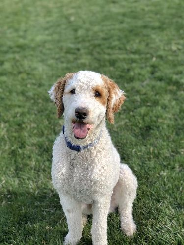 PROVEN Bernedoodle/Poodle Health Tested Stud for sale in Provo , UT