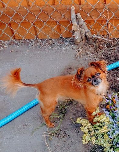 4.5lb long hair chihuahua stud (not for sale) wanted in Provo , UT
