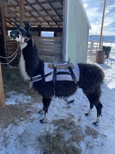 Llama saddles & tack for sale in Mount Pleasant , UT