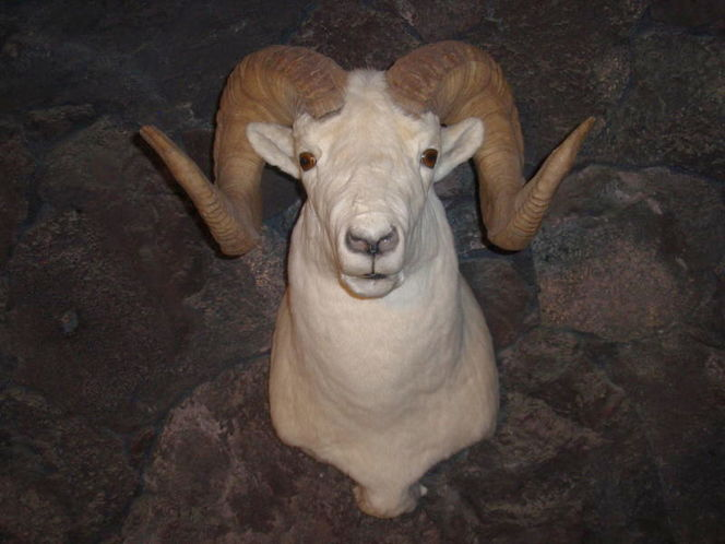 Dall sheep for sale in Murray , UT