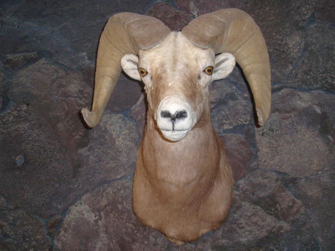 Rocky Mountain bighorn for sale in Murray , UT