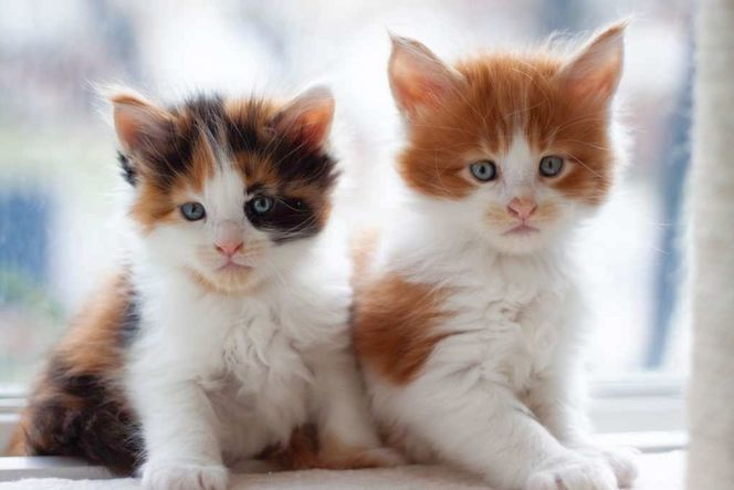 TICA Maine Coon Kittens for sale in Sandy , UT